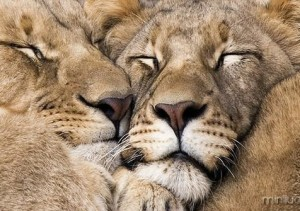 lion-love_thumb